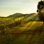 Sunlit vineyard Hunter Valley