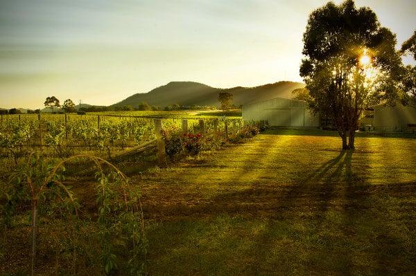 Sunlit vineyard Hunter Valley