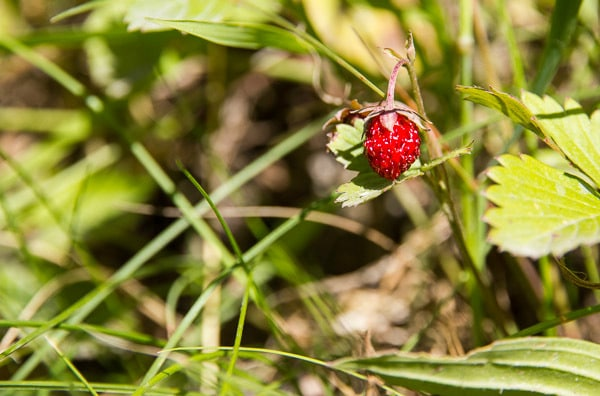 Vaujany roadside strawberries