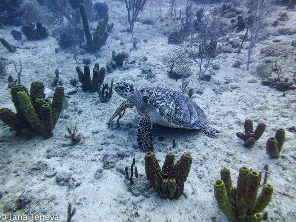 Turtle_meeting_LesSaintes