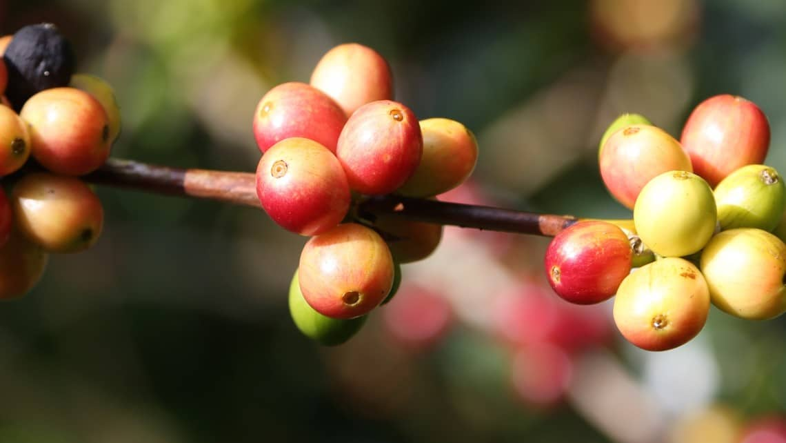Coffee berries are like rubies on a branch. (Photo Credit: Christine Cognieux)