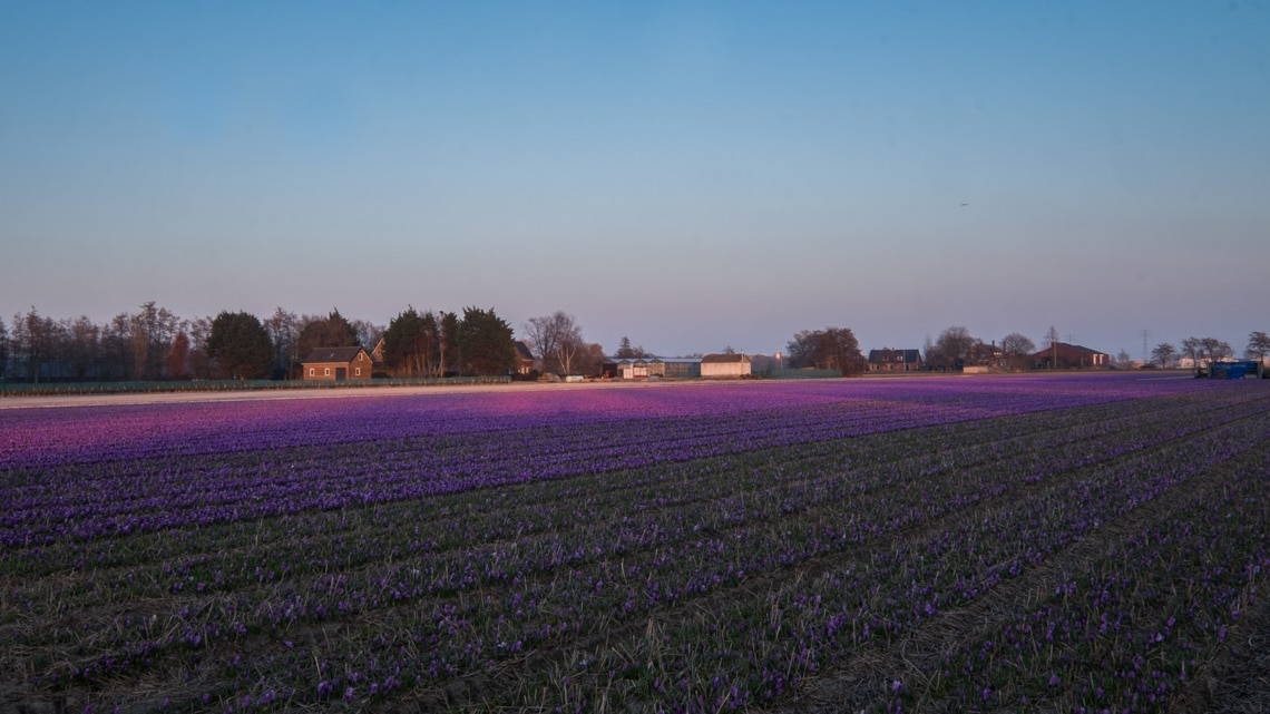 A Haze of Purple Crocus shimmering in the evening sun, one of the many bulbfields to be discovered on this road trip