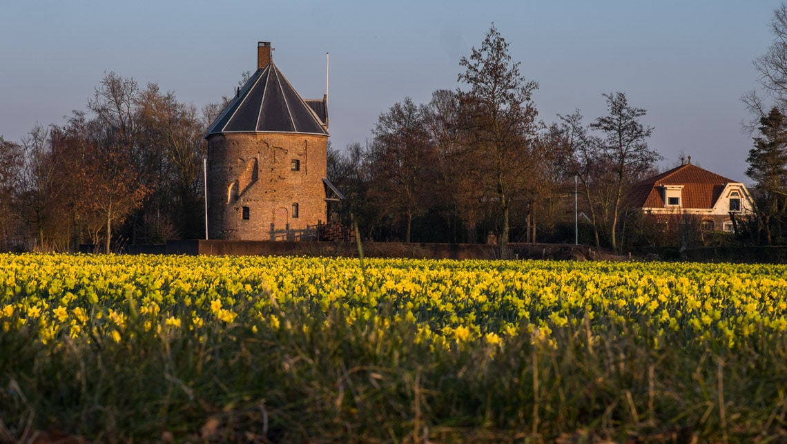 The golden bulbfields of Narcissi along the edge of the N208