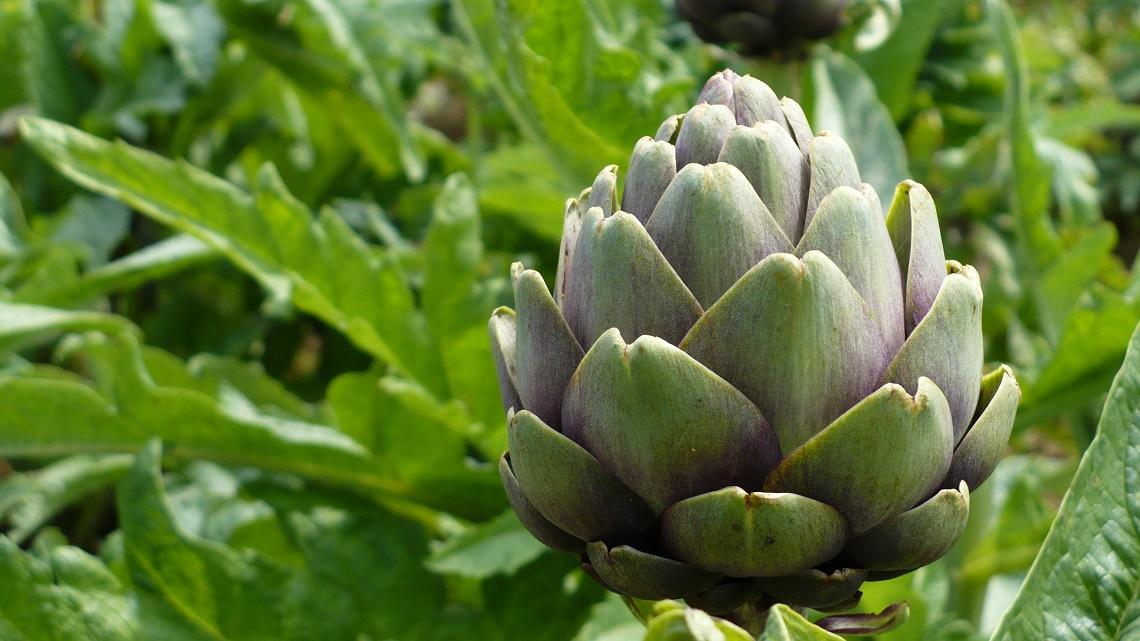 Open field artichoke