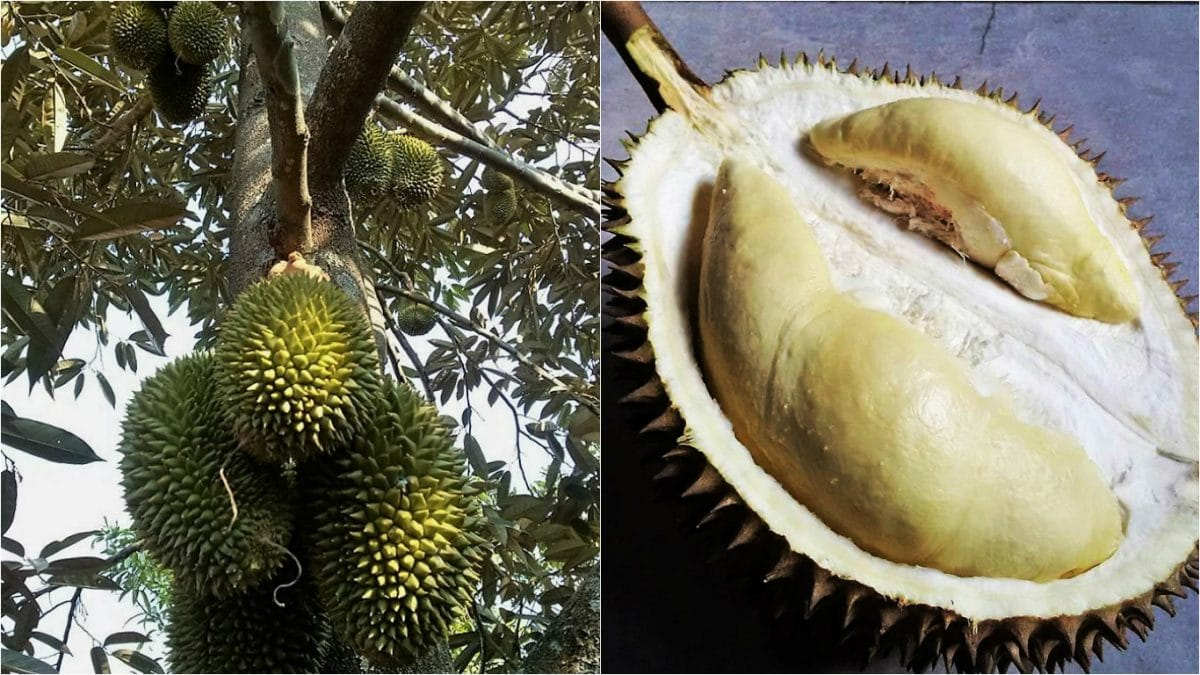 Fresh King of Fruits from the durian farm and best cultivar group in Indonesia. On the left is Mon Thong tree and on the right is Si Kasur. (Photo Credit: Banyu Putra & Pengki Dwinoto)