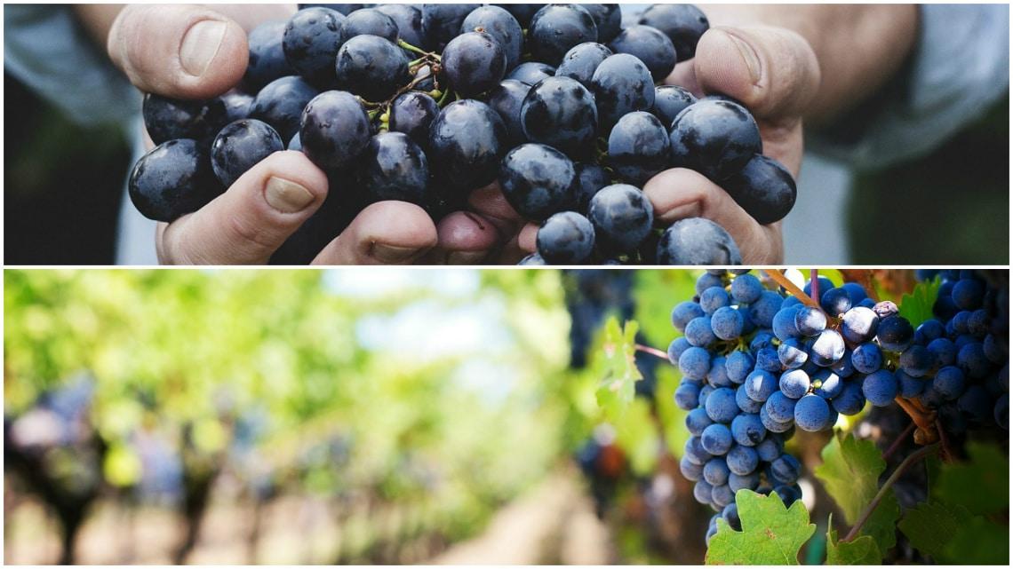 Gamay noir Jus Blanc grapes
