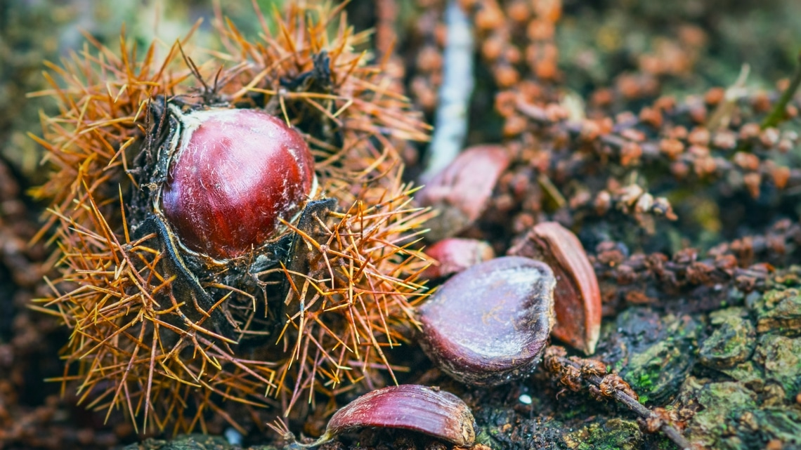 Chestnut in its husk (Photo Credit: kastanjes by André Scherpenberg)